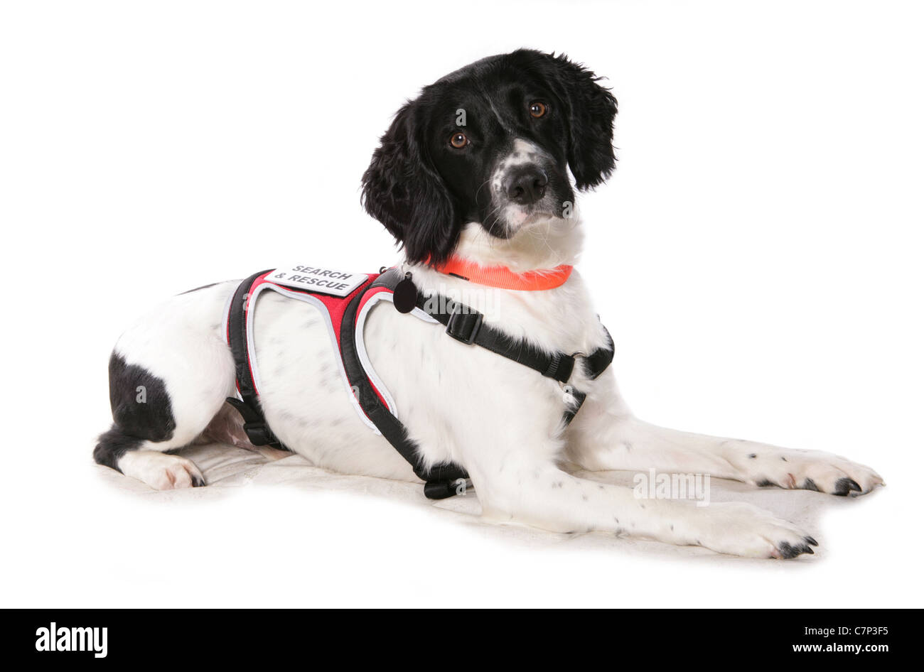 Springer spaniel Single adult search and rescue dog laying in a studio UK - Stock Image
