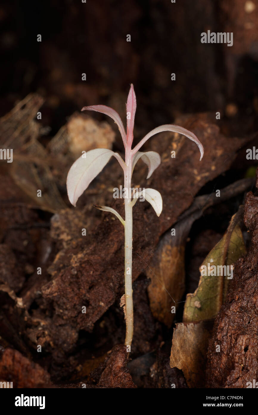 Young tree seedling emerging from the forest floor foliage. - Stock Image