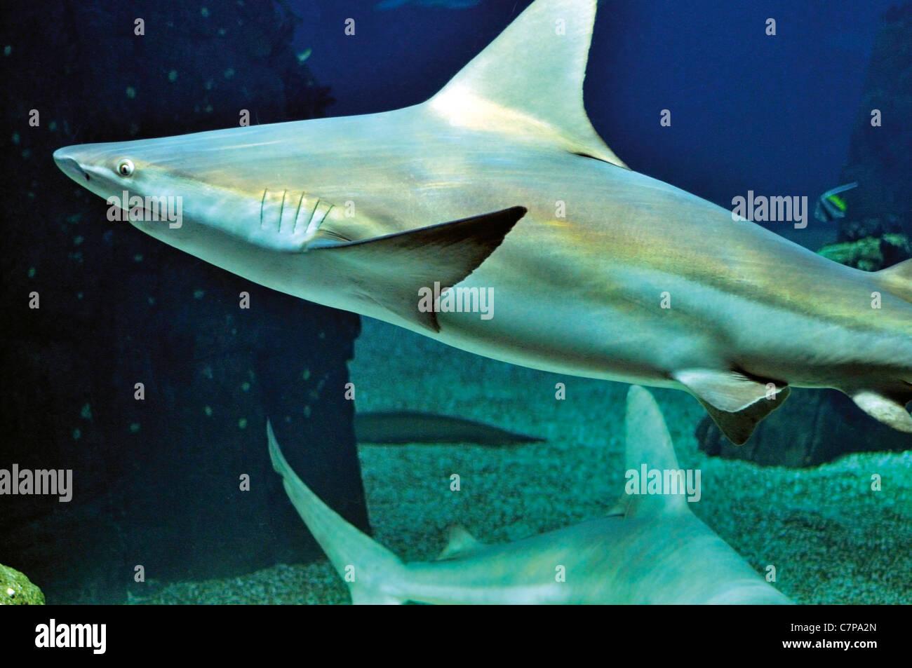 Portugal, Lisbon: Grey Reef Shark (Carcharhinus amblyrhynchos) in the Oceanarium of Lisbon Stock Photo