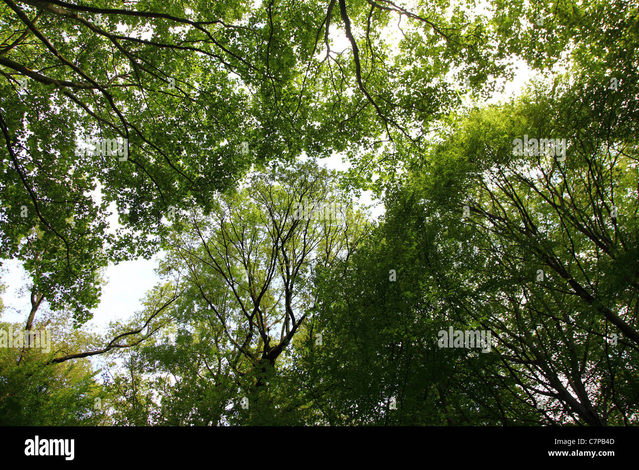 Forest, trees, canopy, deciduous trees. - Stock Image