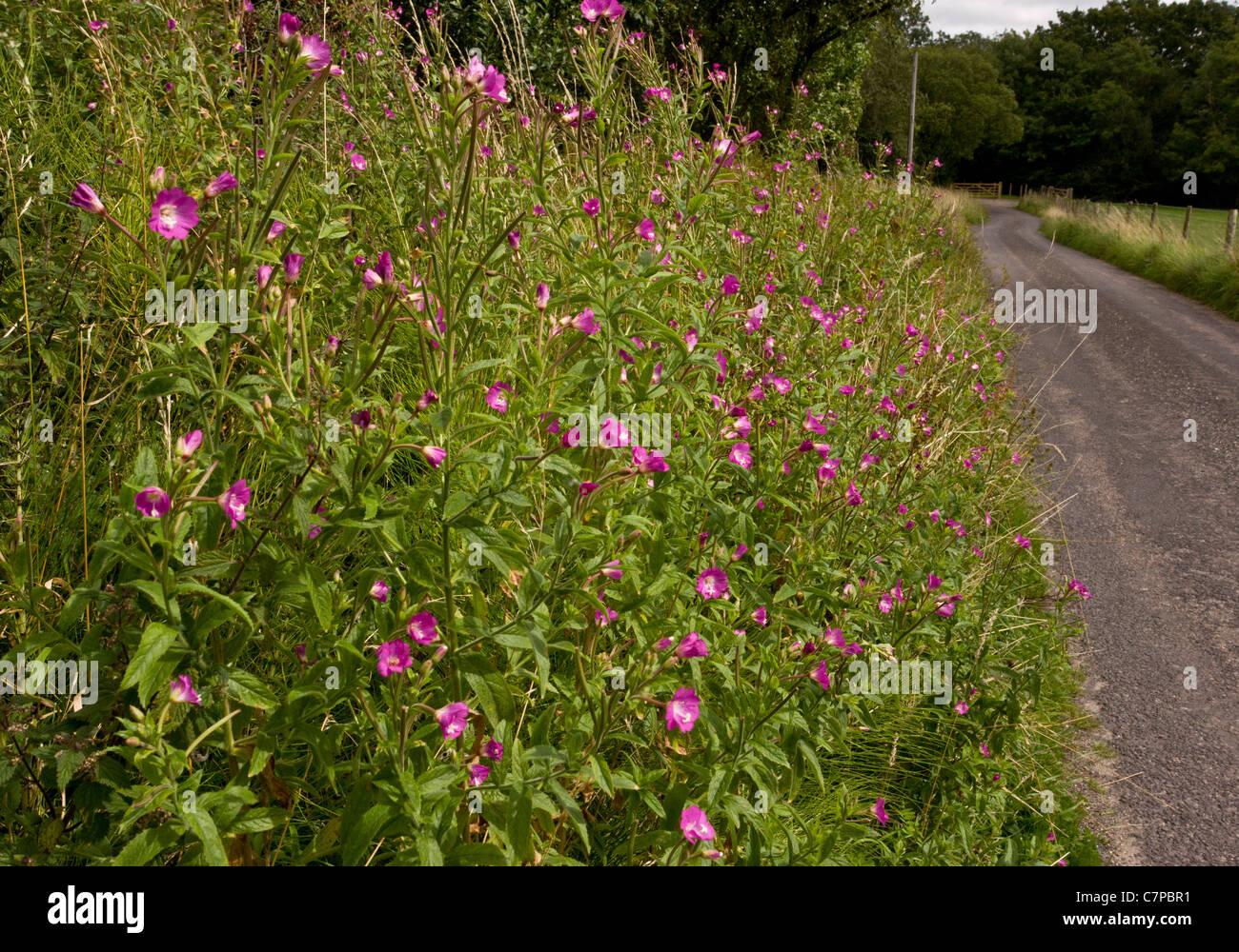 Roadside verge with Hairy Willow-herb, Epilobium hirsutum, West Dorset. - Stock Image