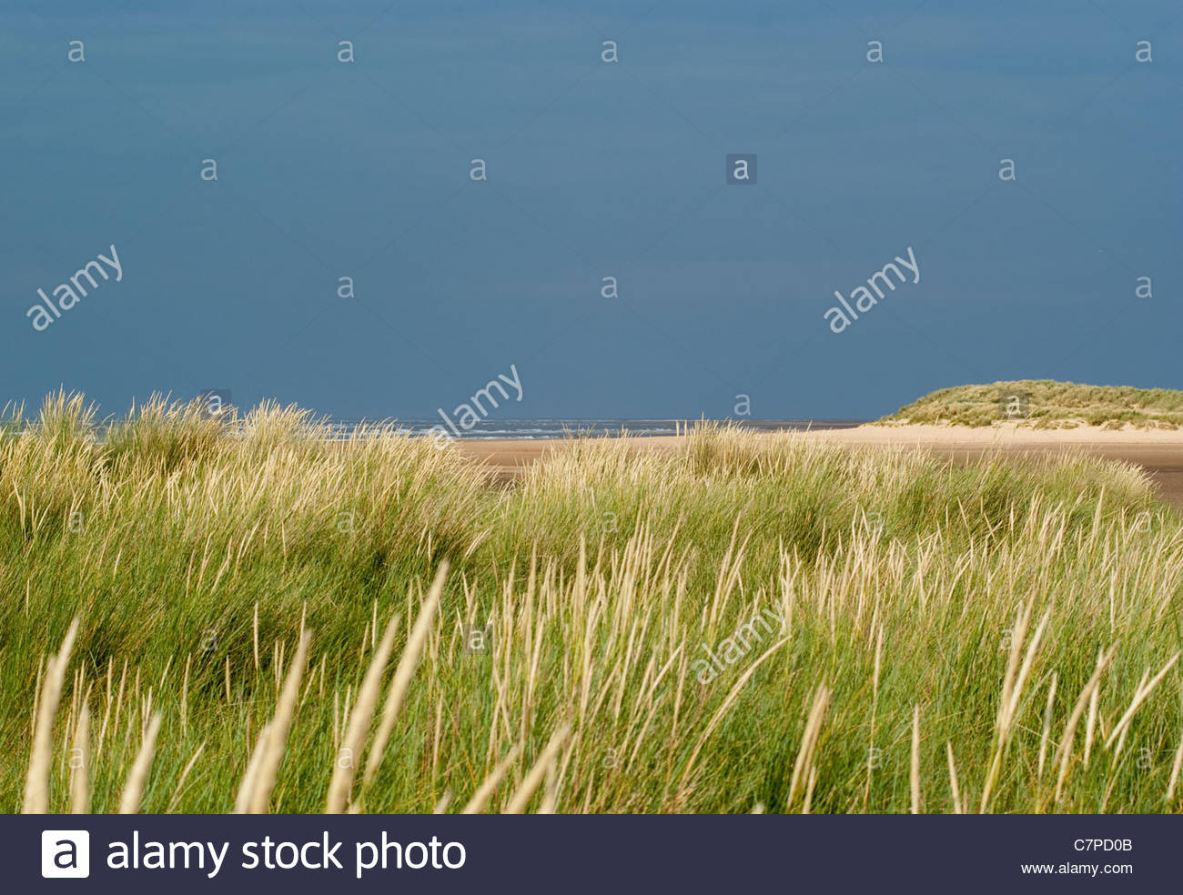 Couch and marram grasses in the sand dunes at Holkham, Norfolk, England - Stock Image