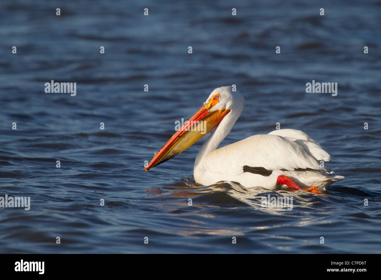 American White Pelican Pelecanus erythrorhynchos Lower Klamath National Wildlife Refuge, California, Unites States - Stock Image