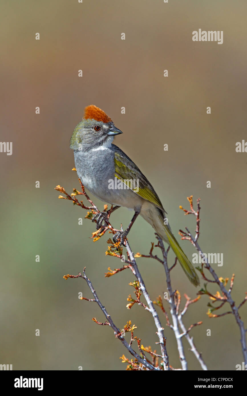 Green-tailed Towhee Pipilo chlorurus Bodie, California, United States 13 May Adult Emberizidae - Stock Image