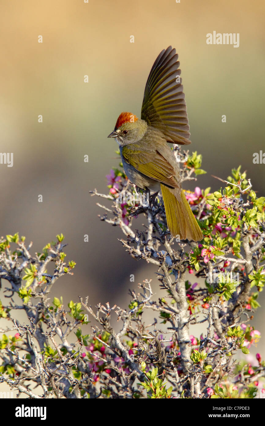 Green-tailed Towhee Pipilo chlorurus Mono Lake, California, United States 14 May Adult Male defending territory Stock Photo