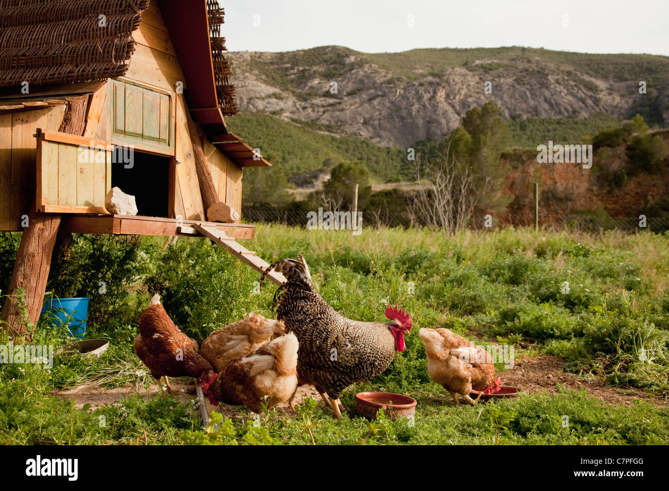 Chickens and hen house in farmyard - Stock Image