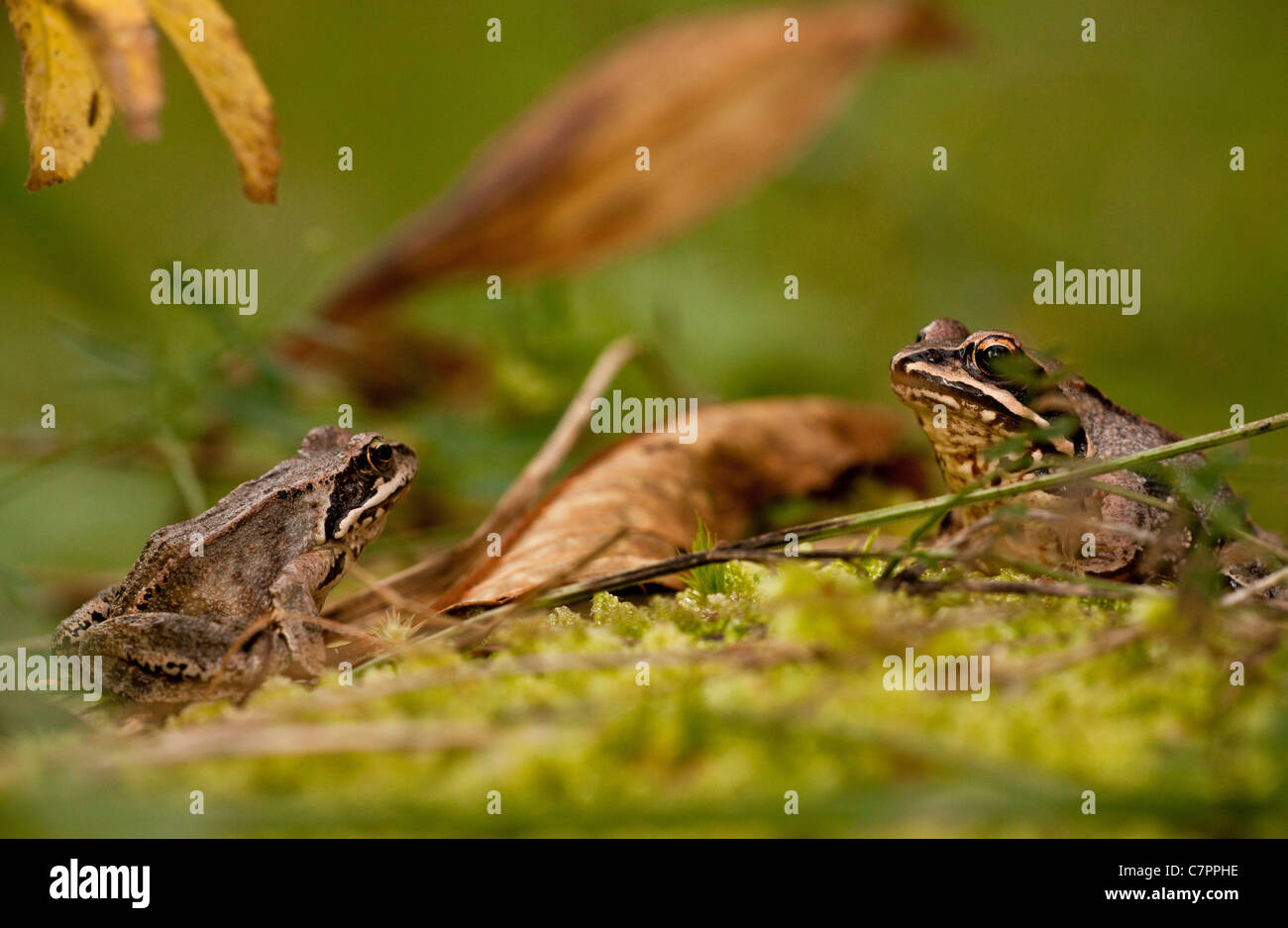Common frogs, Rana temporaria, adults in autumn. - Stock Image