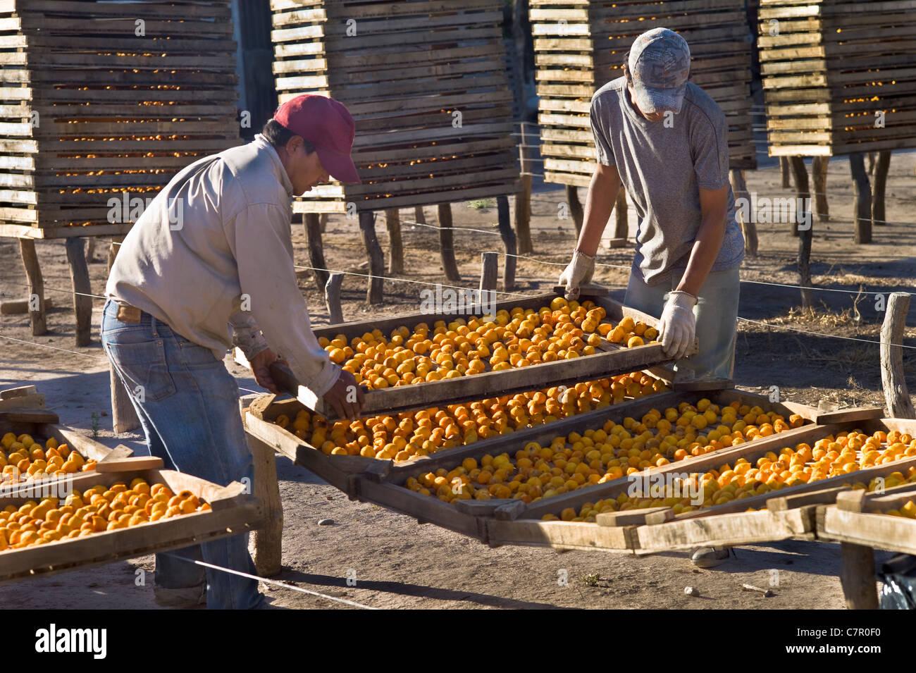 Peaches spread put on rack drying, San Rafael, Argentina - Stock Image