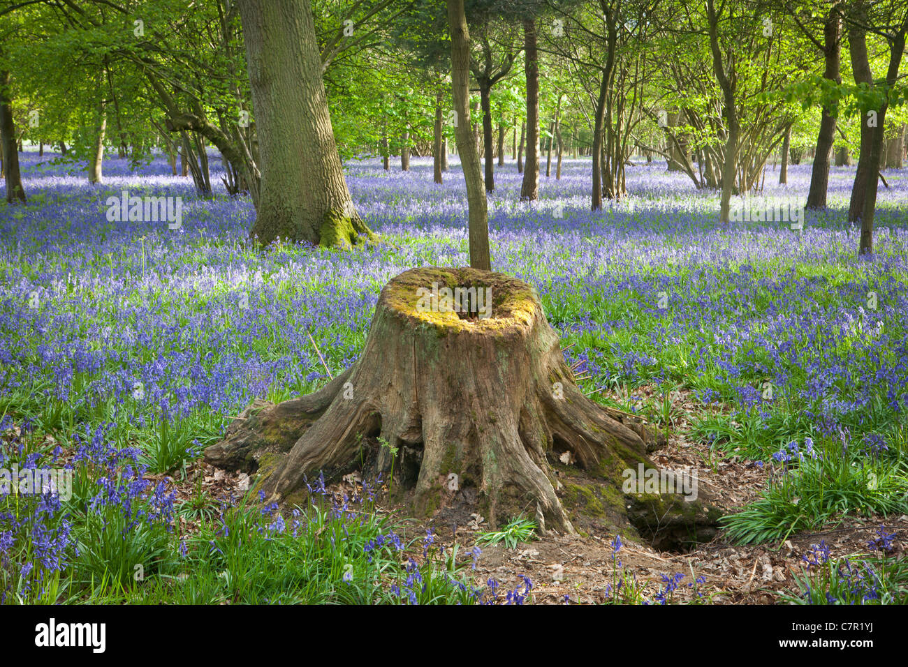 BLUEBELL FIELDS IN HAUGHLEY PARK - Stock Image