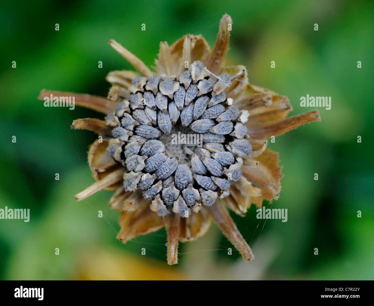 A close-up of a dried calendula flower showing a seedhead with seeds - Stock Image