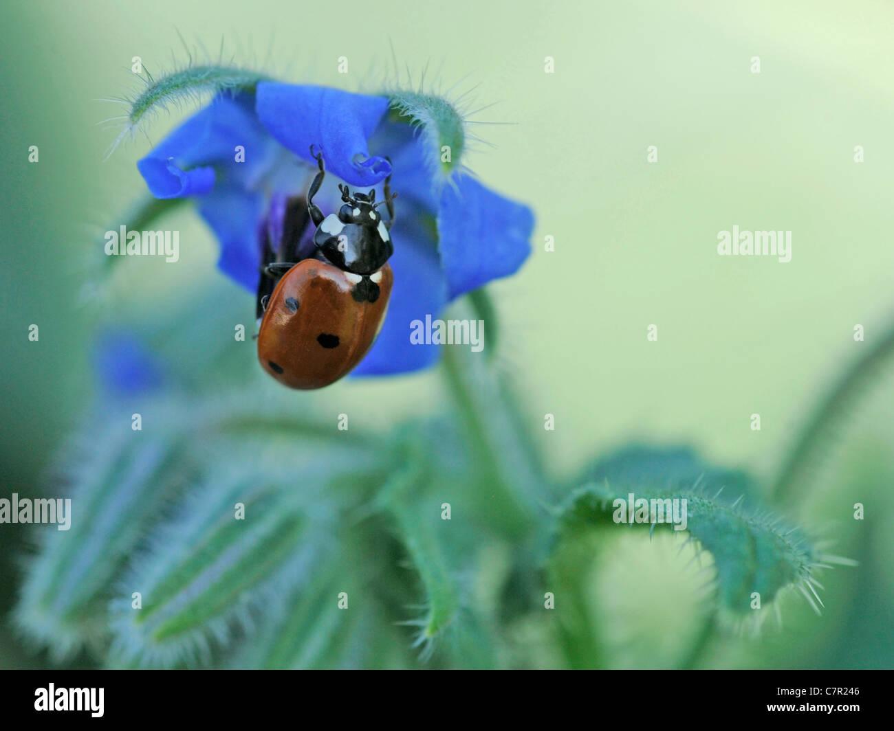 A  ladybird on a borage flower, by a borage leaf - Stock Image
