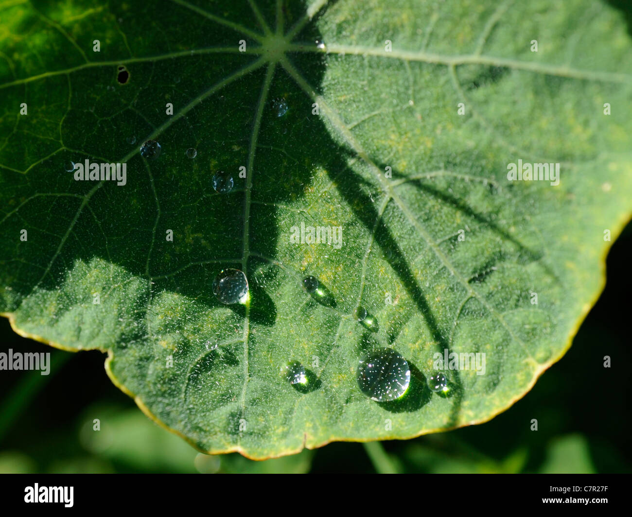 Drops of water on a nasturtium leaf - Stock Image