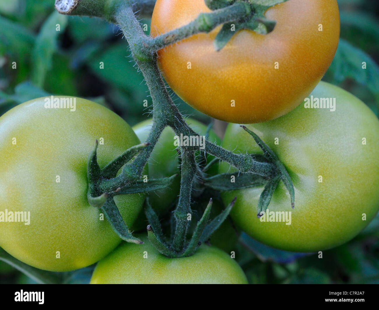 Ripening tomatoes growing on the vine - Stock Image
