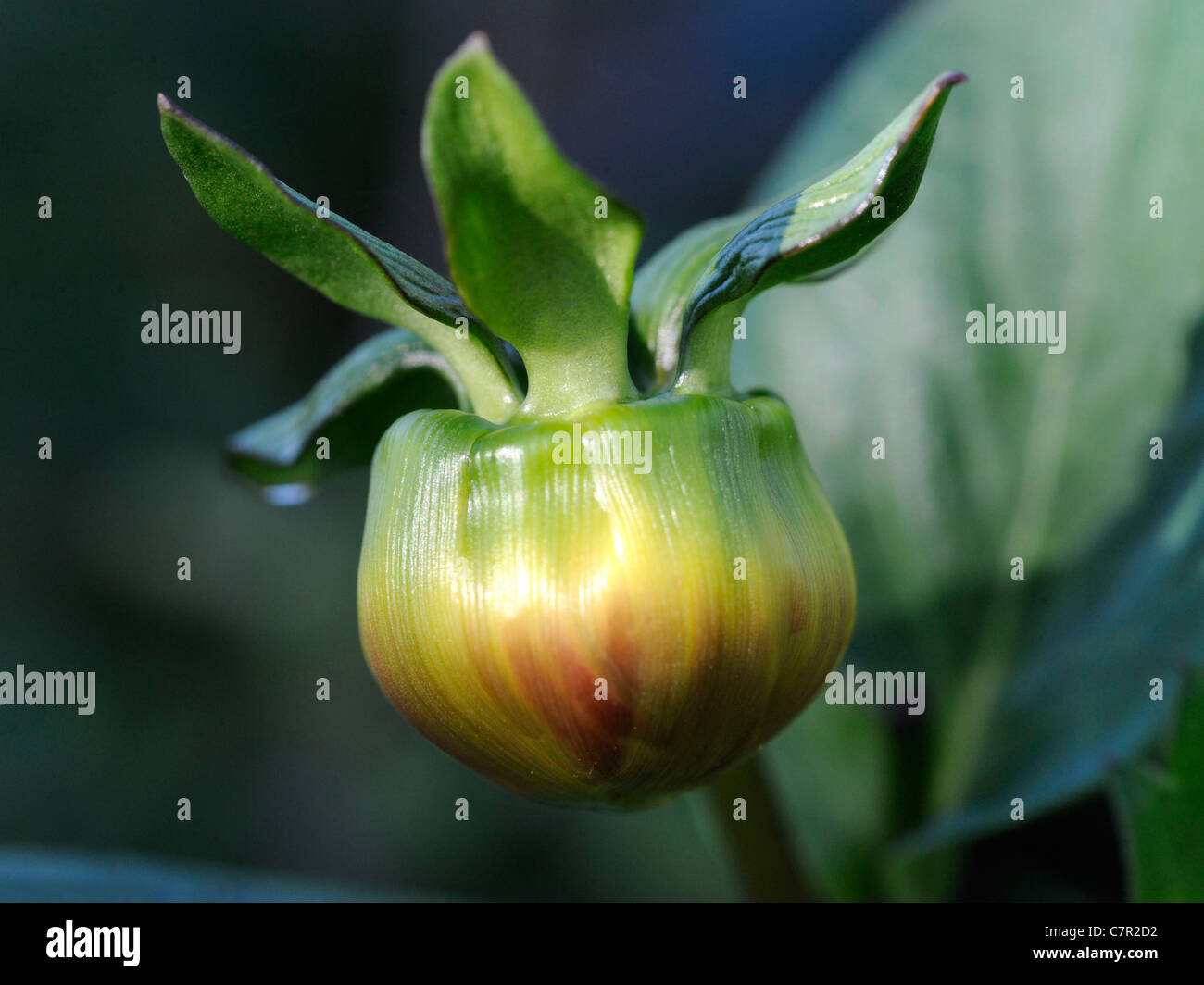 A large dahlia bud that is yet to open - Stock Image