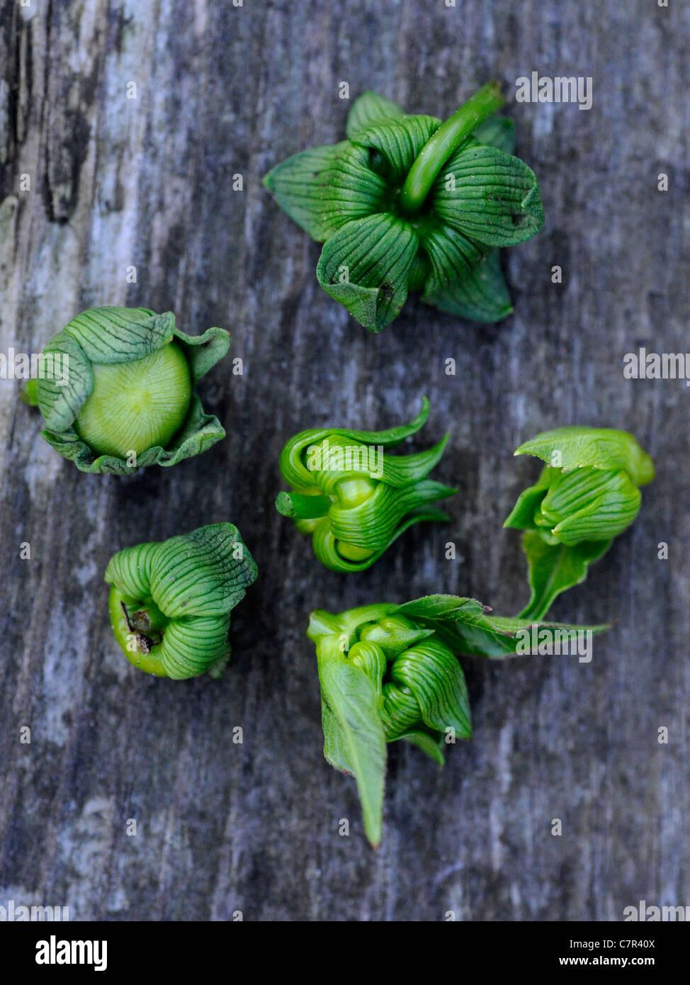 Removing dahlia buds - Stock Image