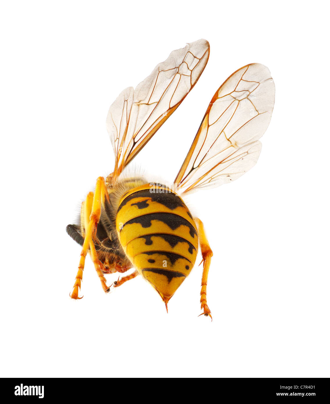 wasp presenting it's abdomen with threatening stinger, macro with stacked focus, isolated concept for threat - Stock Image