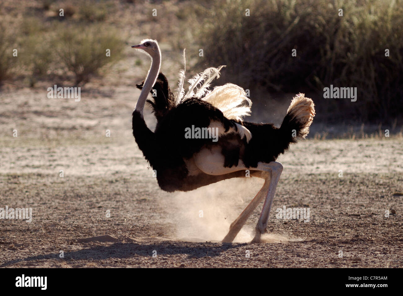 Common ostrich (Struthio camelus), Kgalagadi Transfrontier Park, South Africa - Stock Image