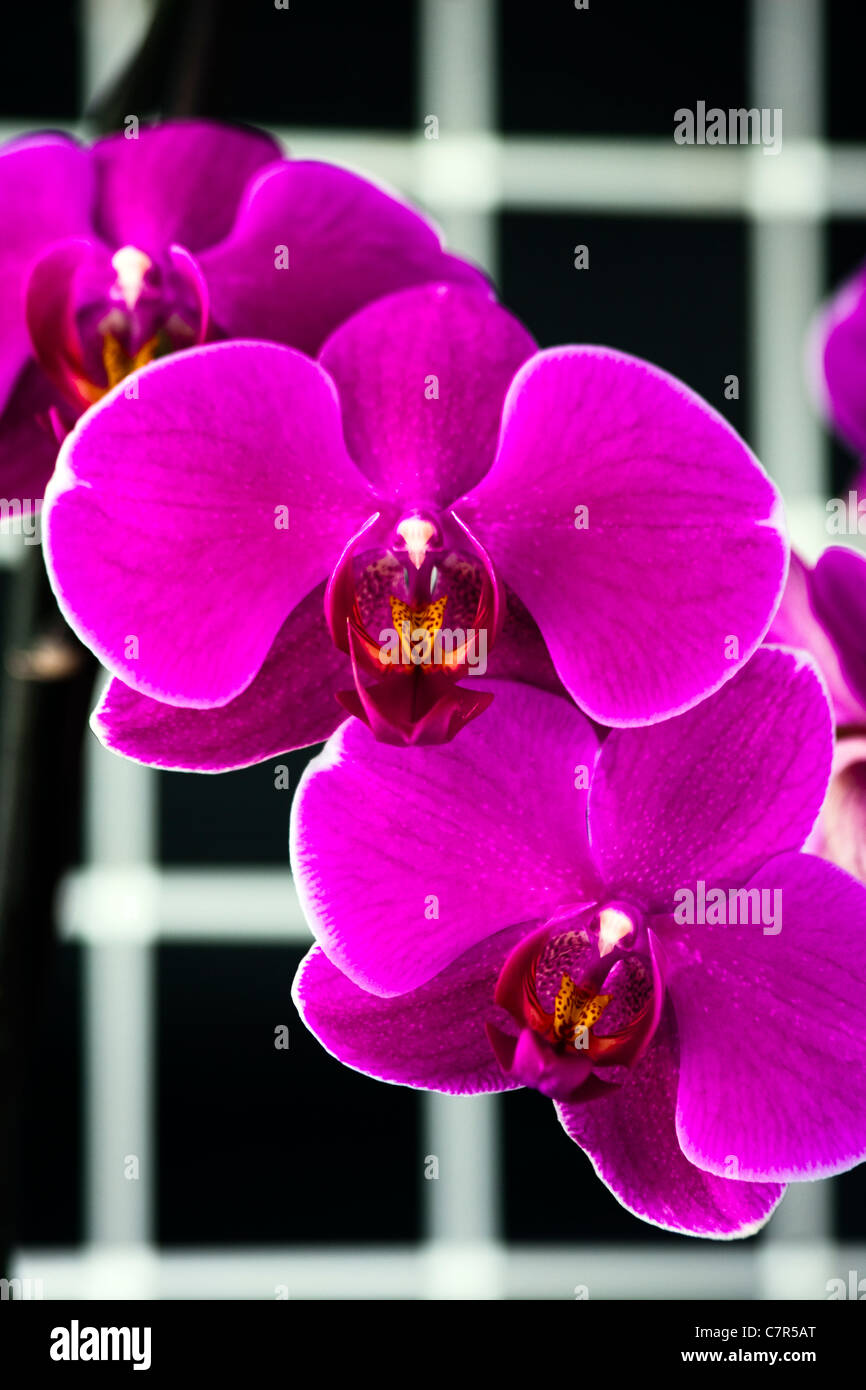 The Orchid - Stock Image