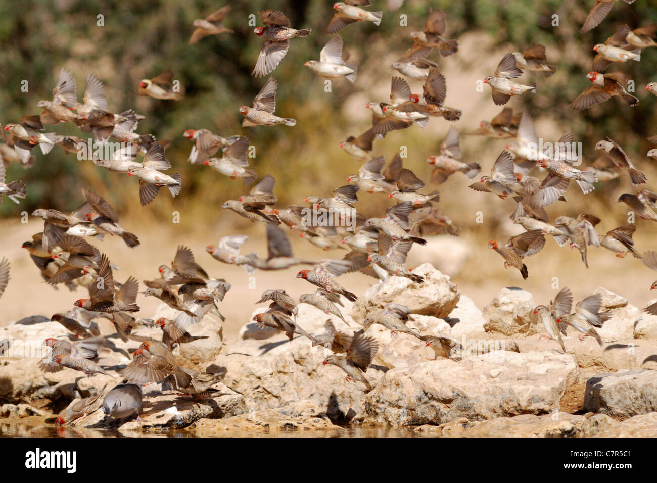Flock of Red-headed finches (Amadina erythrocephala), Kgalagadi Transfrontier Park, South Africa - Stock Image
