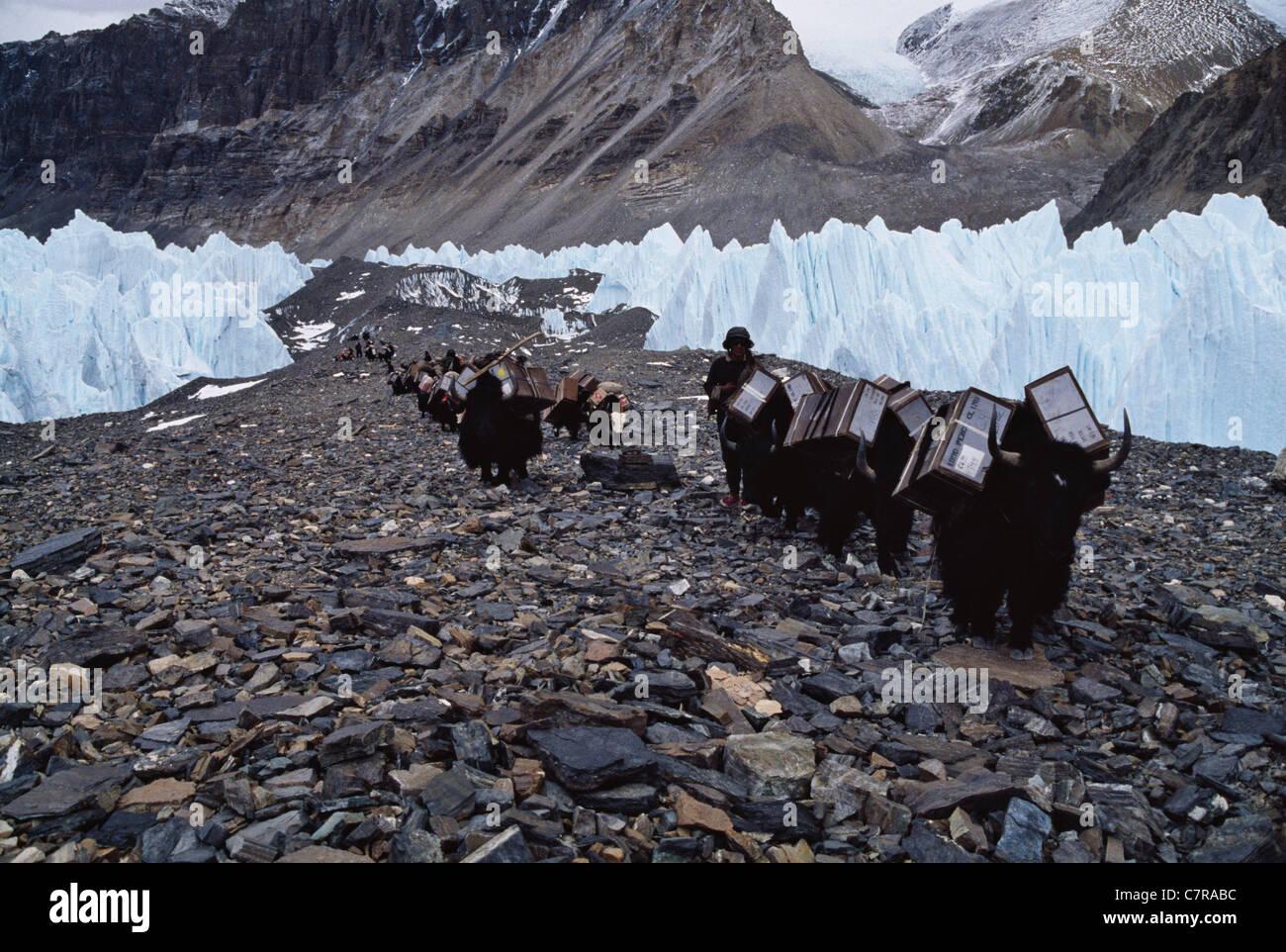 Yak caravan in Rongbuk Glacier enroute to Mt. Everest, Tibet, China - Stock Image