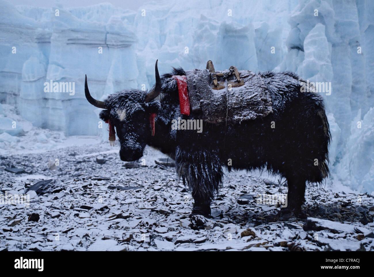 Himalayan yak in Rongbuk Glacier, Tibet, China - Stock Image