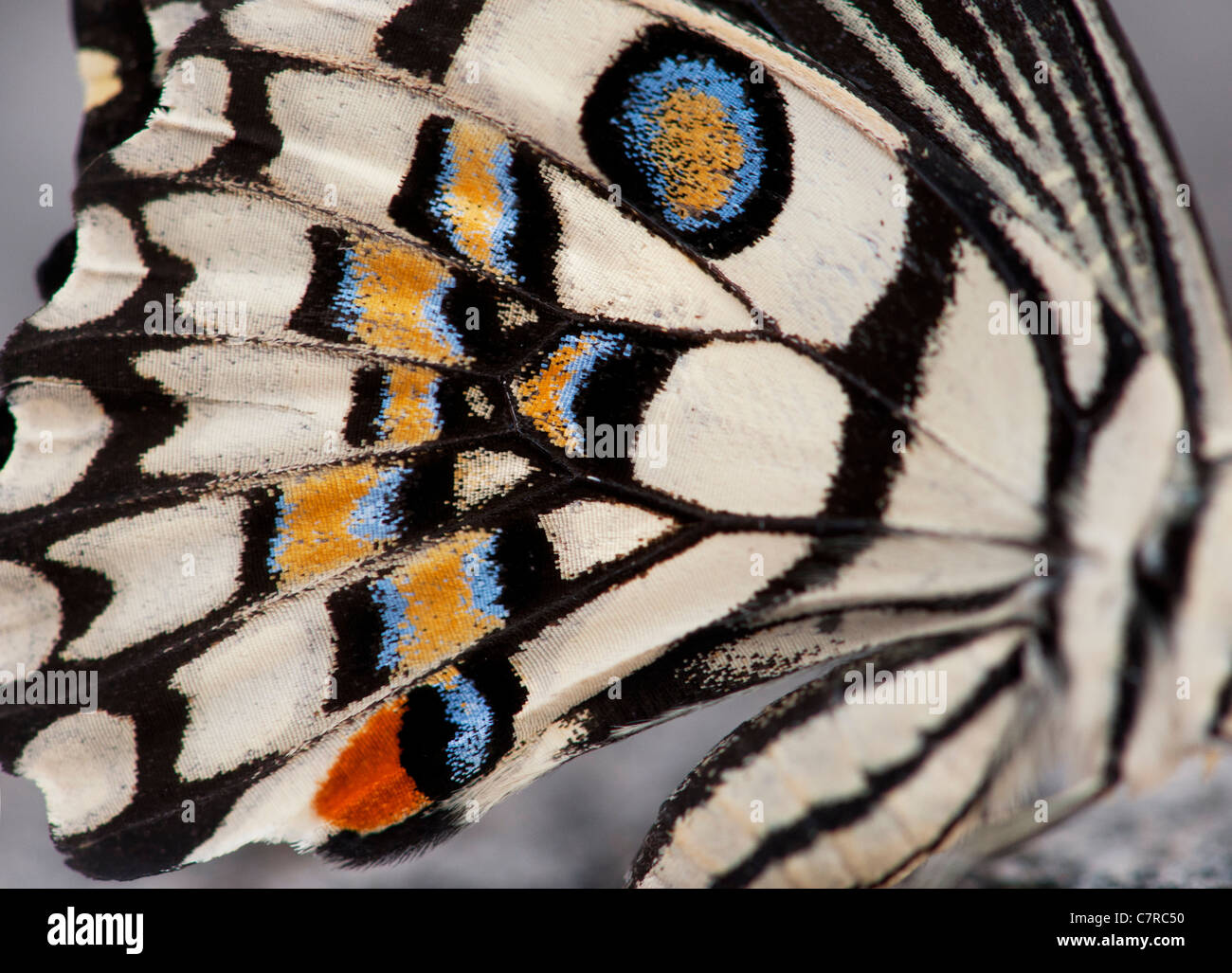 Papilio demoleus . Lime butterfly wing pattern - Stock Image