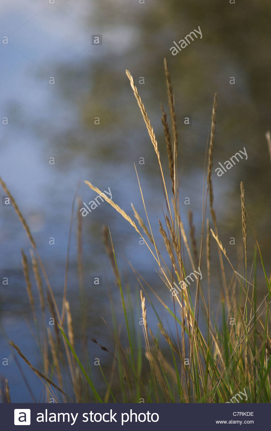 grass by water - Stock Image