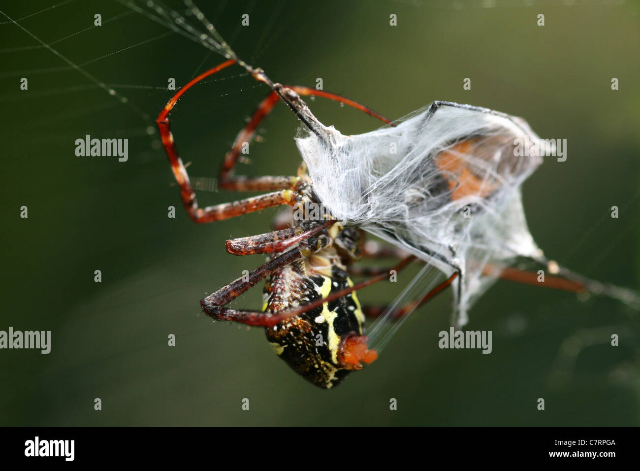 Encapsulates Prey In Its Silken Web