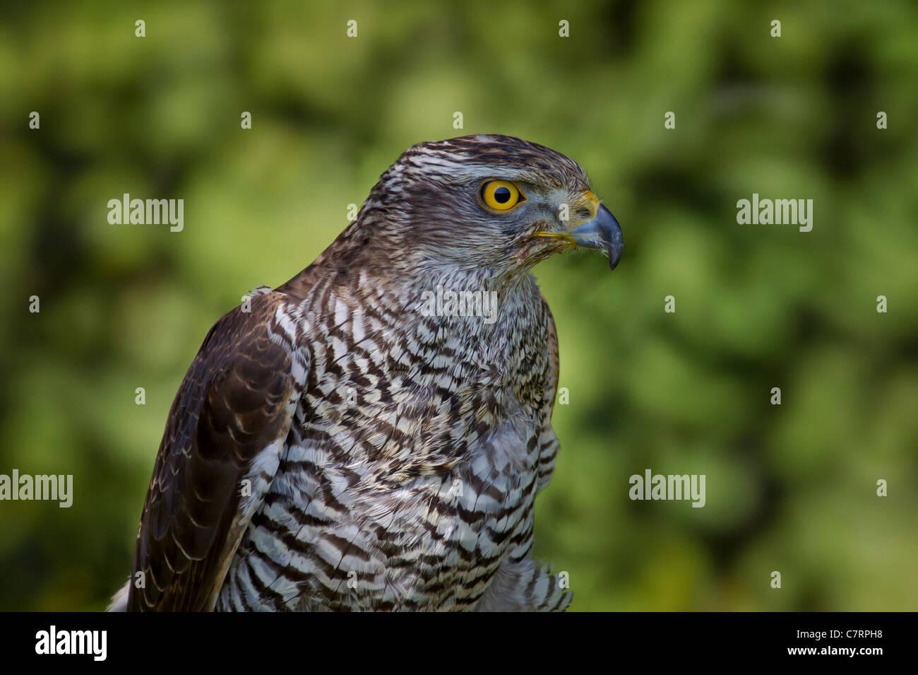 Accipiter gentilis GREIFVOGEL Habicht Northern Goshawk accipitridae auge aves bird of prey falconiformes greife - Stock Image