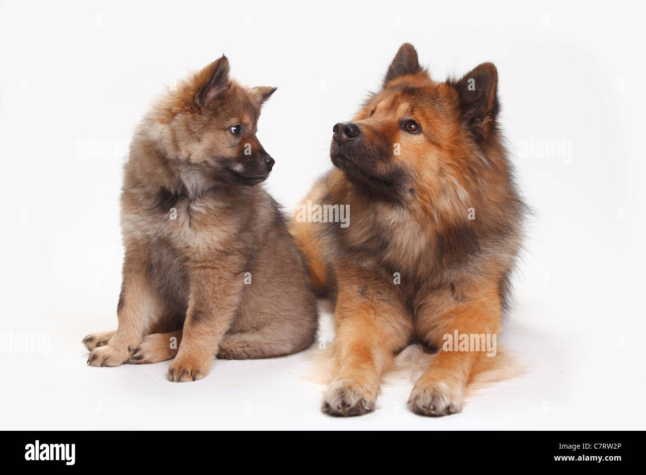 Eurasier with puppy, 10 weeks - Stock Image