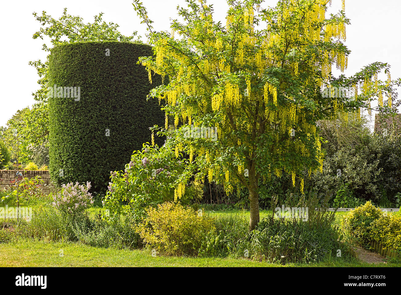 Spring garden with shaped specimen conifer and Laburnum tree in flower in May - Stock Image