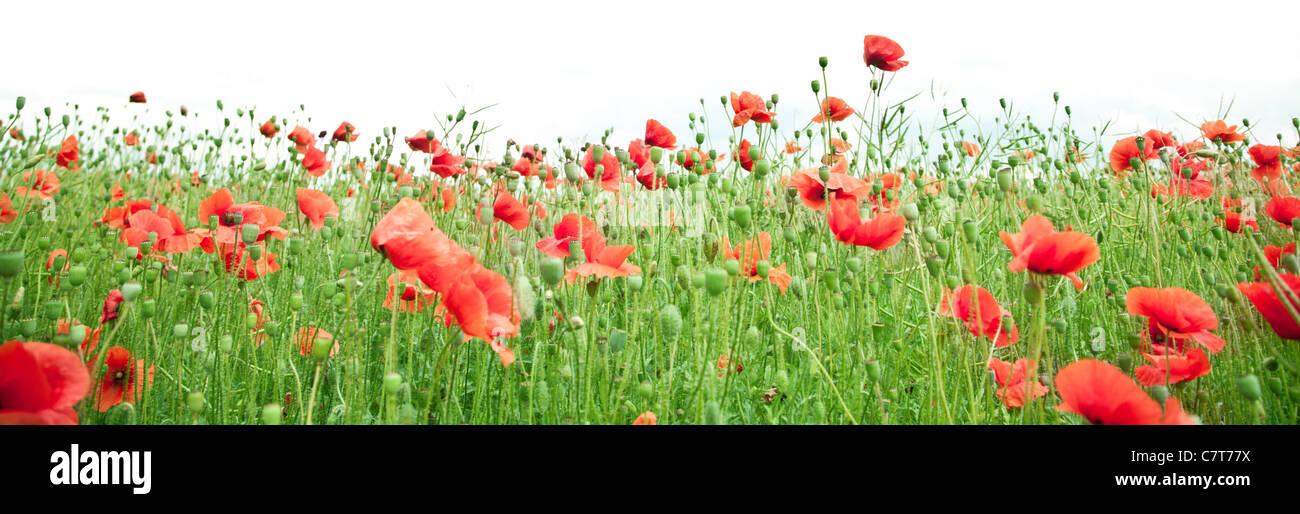 Field of wild poppy flowers. Stock Photo