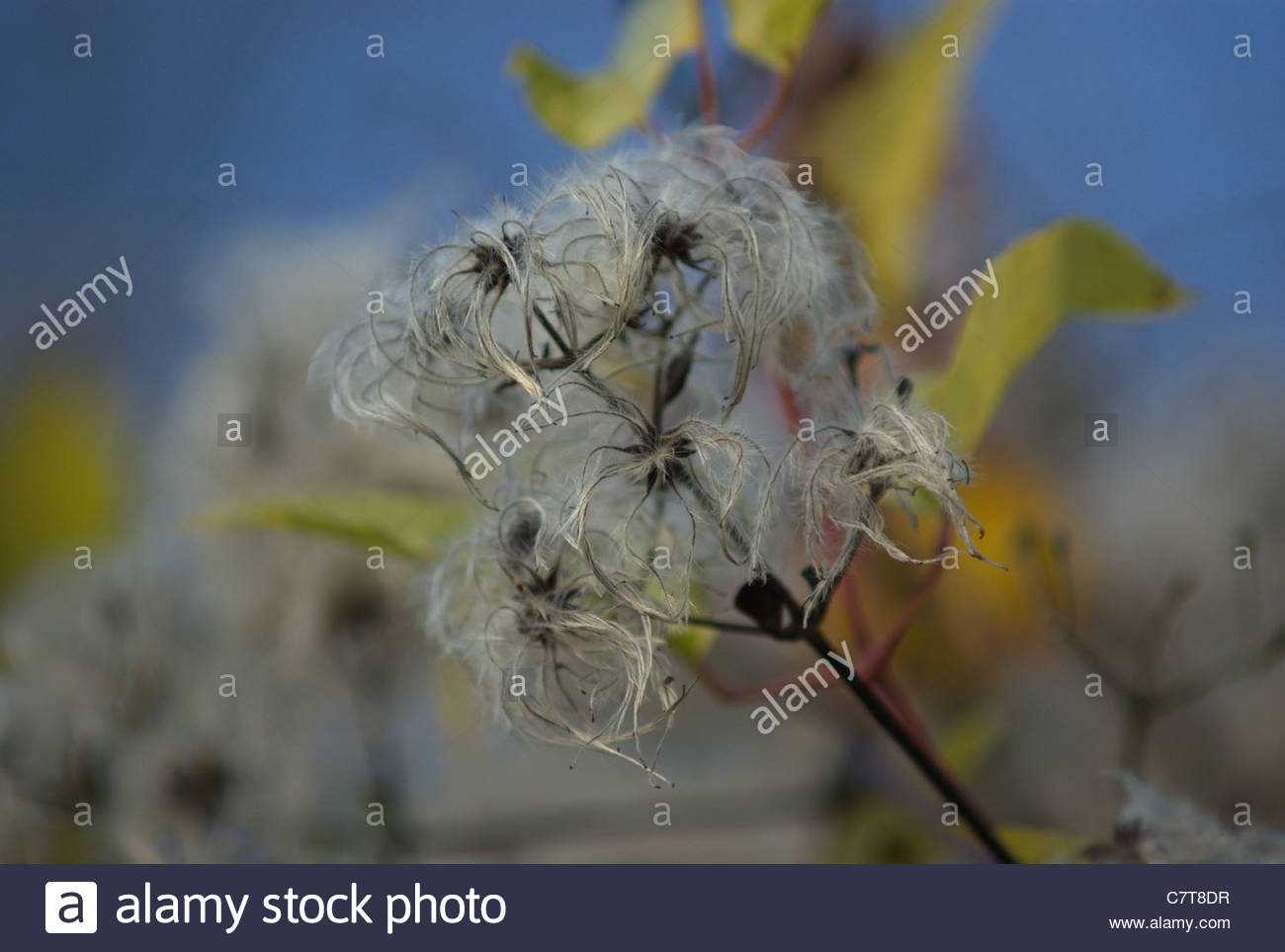Old Man's Beard, Traveller's Joy,  Clematis Vitalba  seed head aka Beggar's Herb, Rascal's Herb and herbe aux gueux Stock Photo
