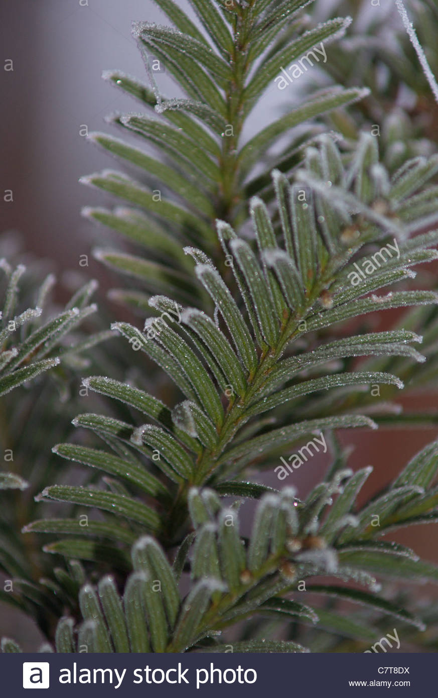 frost on Christmas Tree, Blue Spruce - Stock Image