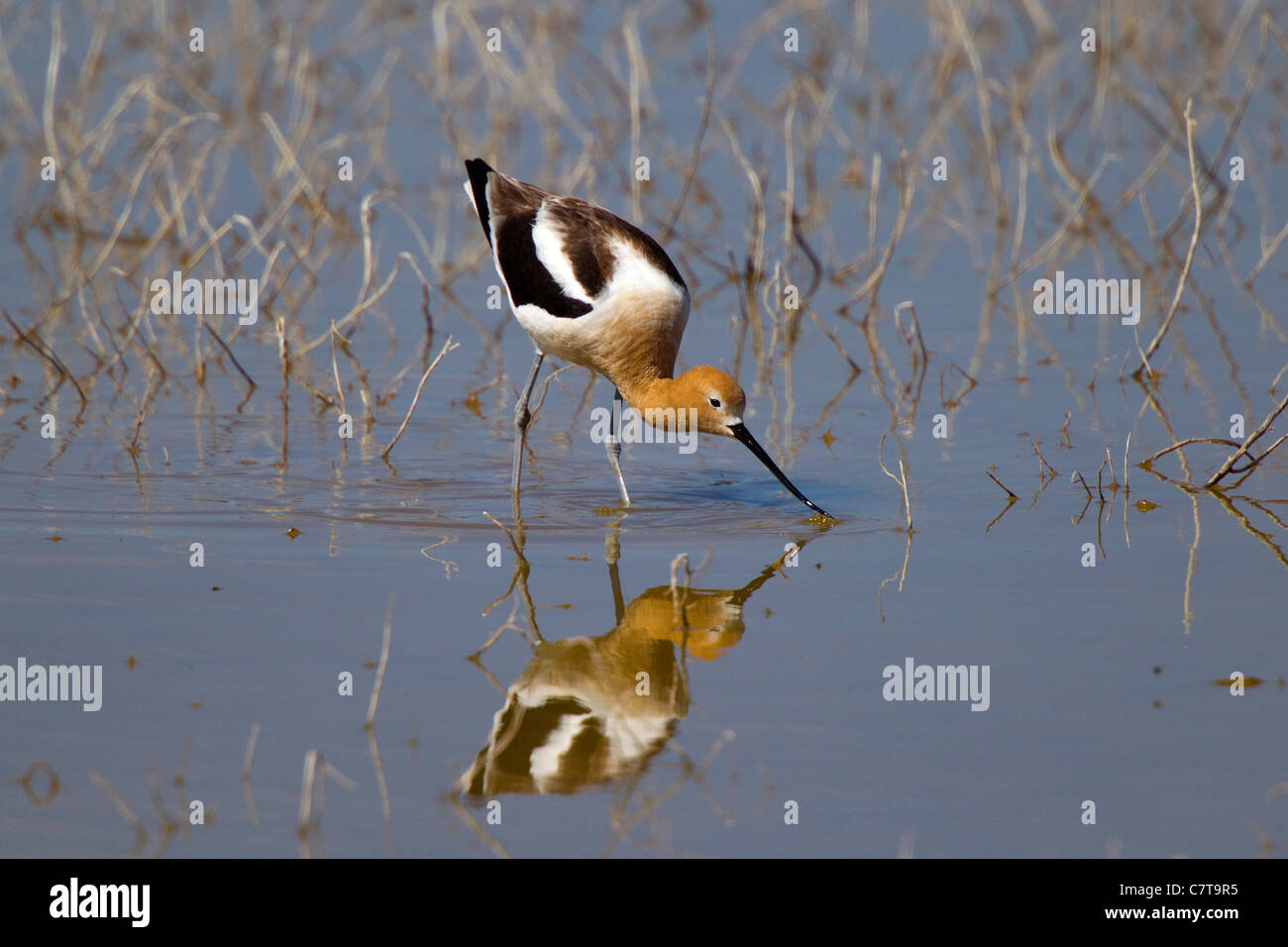 American Avocet Recurvirostra americana Klamath Falls, Oregon, United States 9 May Adult Male in breeding plumage. Stock Photo