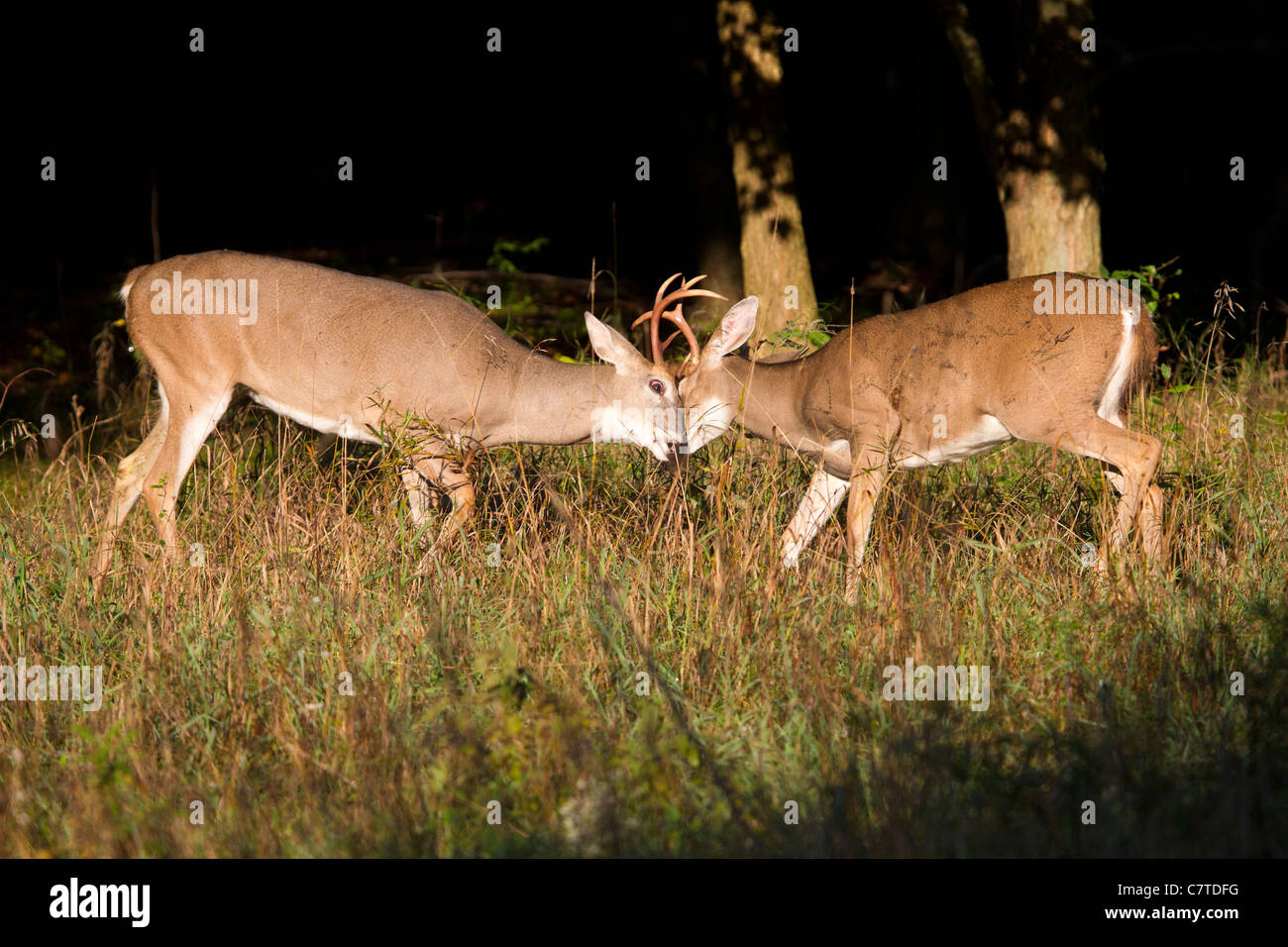 Two whitetail deer bucks butting heads during a fight for dominance. - Stock Image