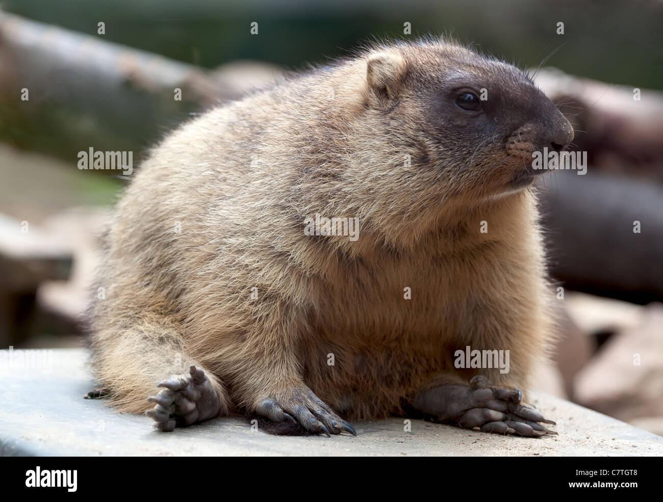 Funny marmot. Marmot seating on the back. Woodchuck - Stock Image