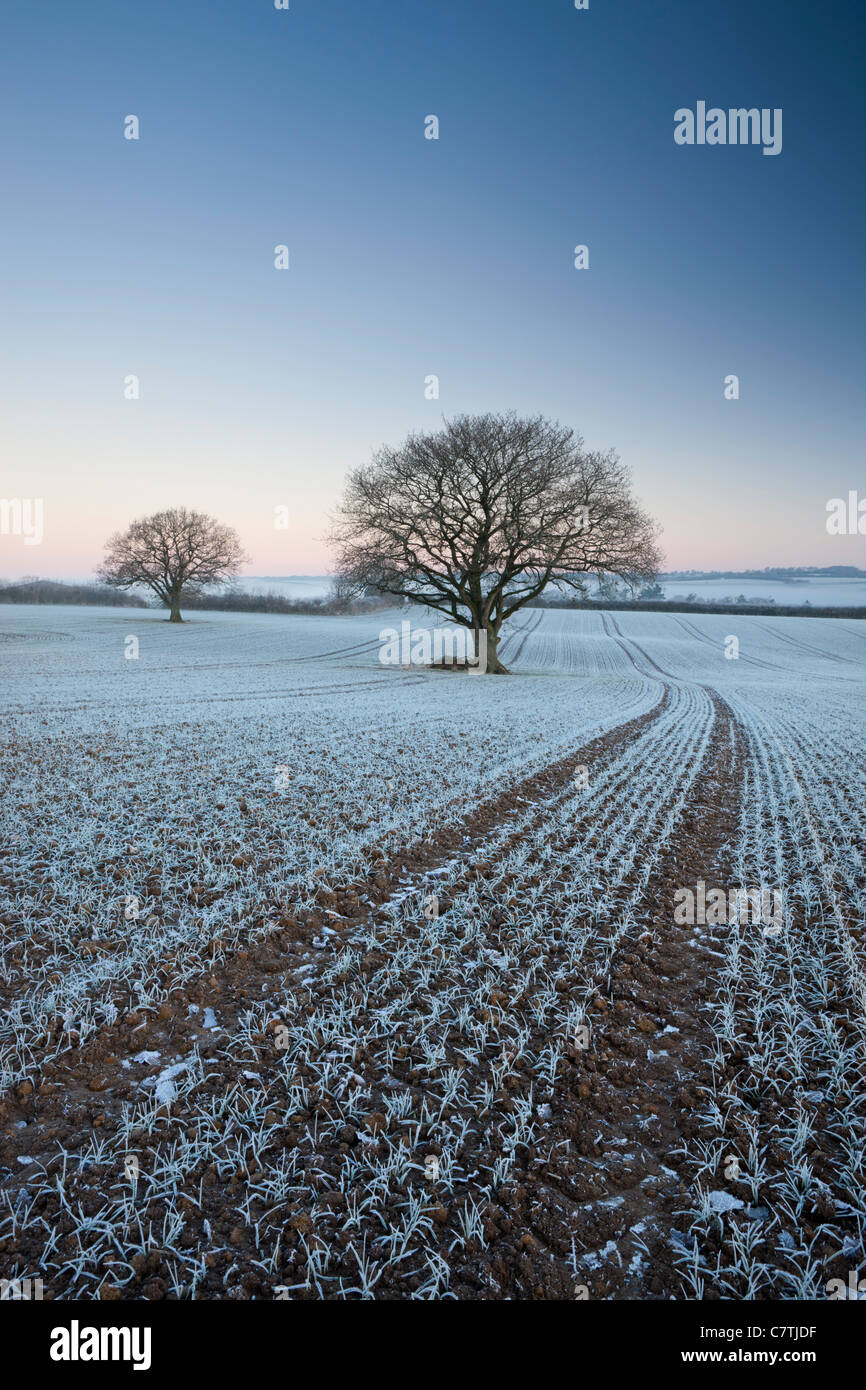 Frost covered crops and trees in farmland, Chawleigh, Devon, England. Winter (December) 2010. - Stock Image