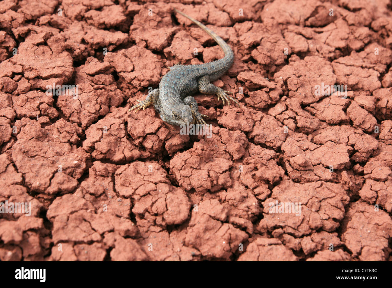northwestern fence lizard (Sceloporus occidentalis) on cracked red clay ground - Stock Image