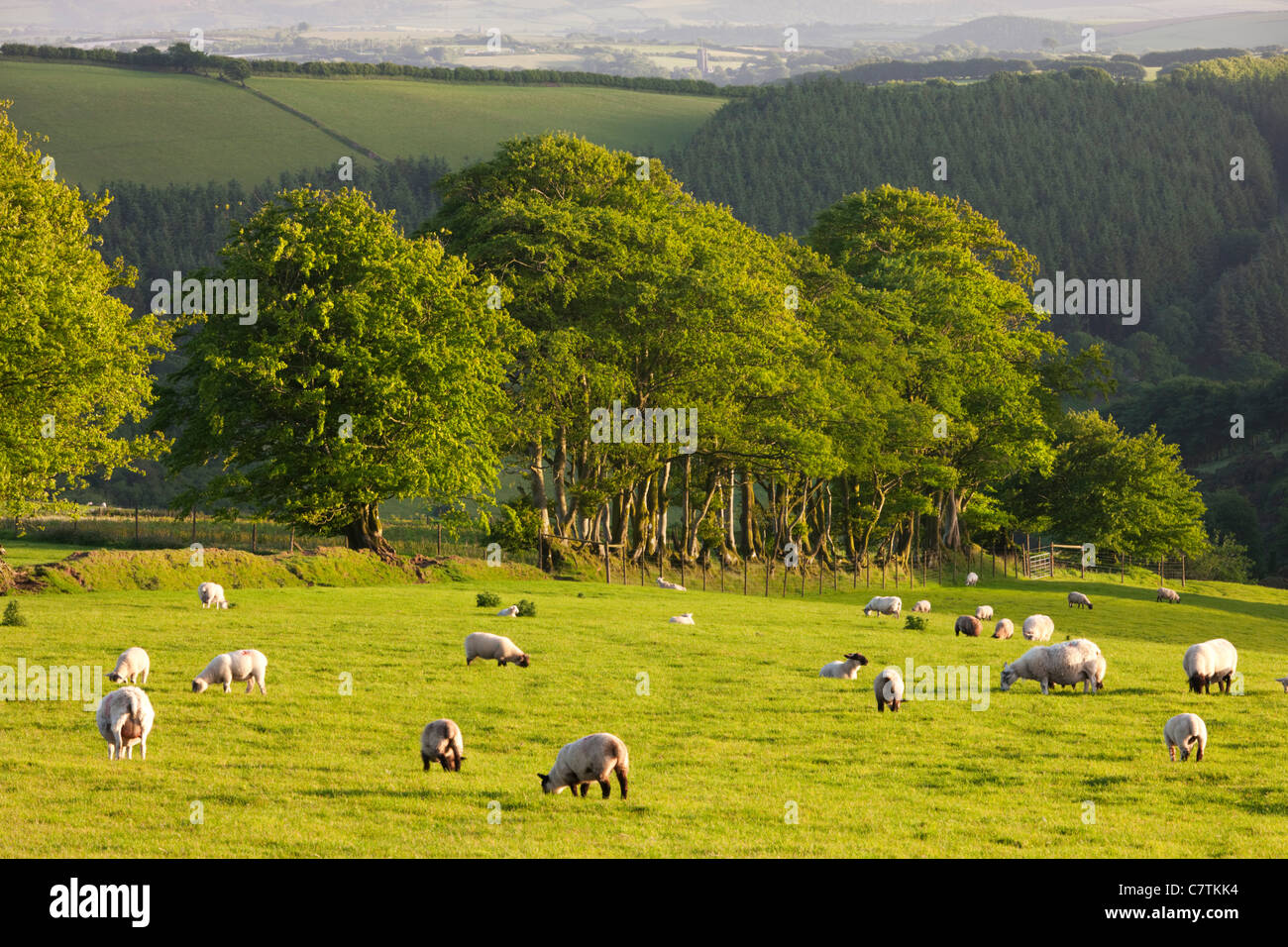 Sheep grazing on farmland in Exmoor, Somerset - Stock Image