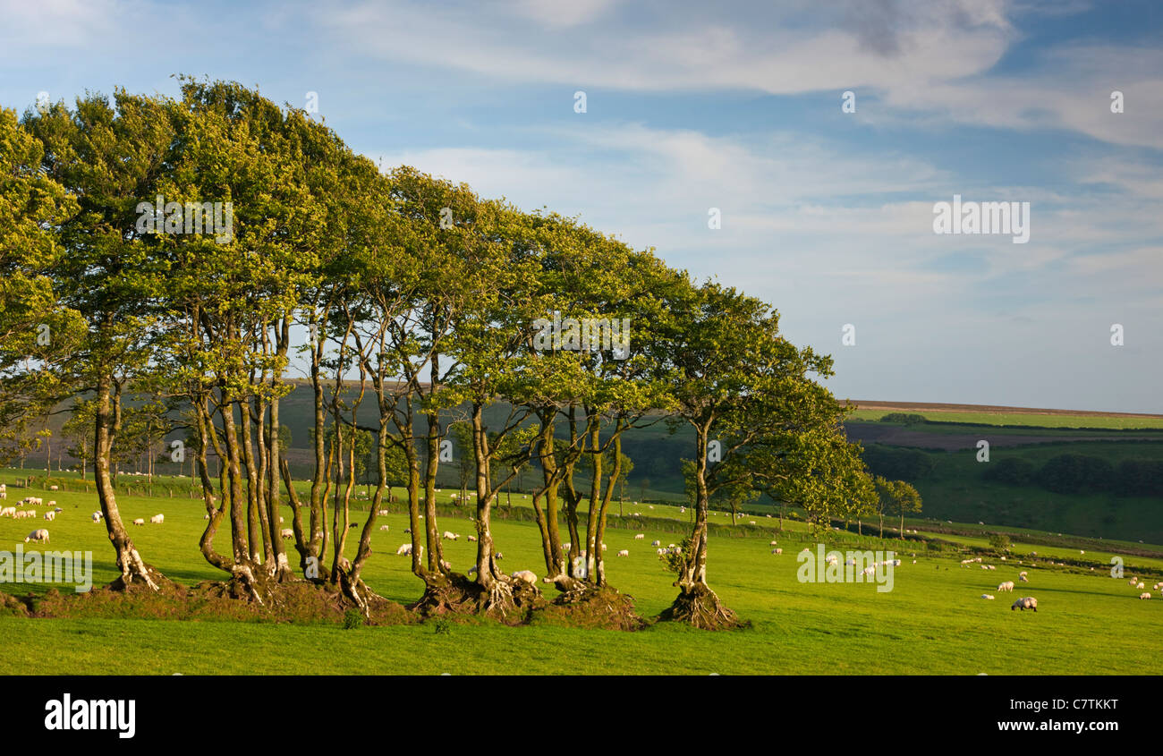 Beech trees growing in an old hedgerow, Exmoor National Park, Devon, England. Spring (May) 2011. - Stock Image