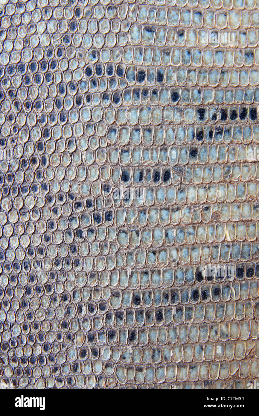 old gray striped scaly snake skin background - Stock Image