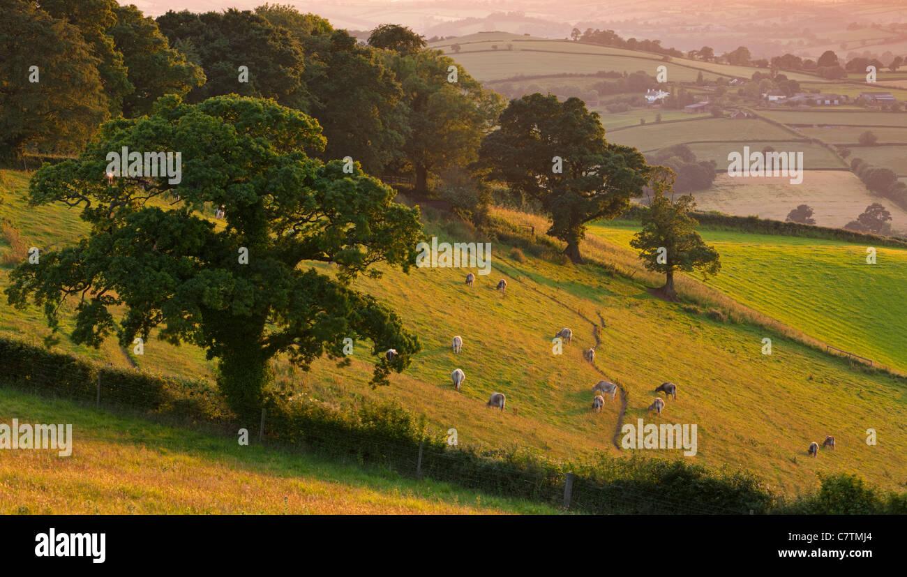 Cattle grazing on the slopes of Raddon Hill on a summer evening, Devon, England. Summer (June) 2011. - Stock Image
