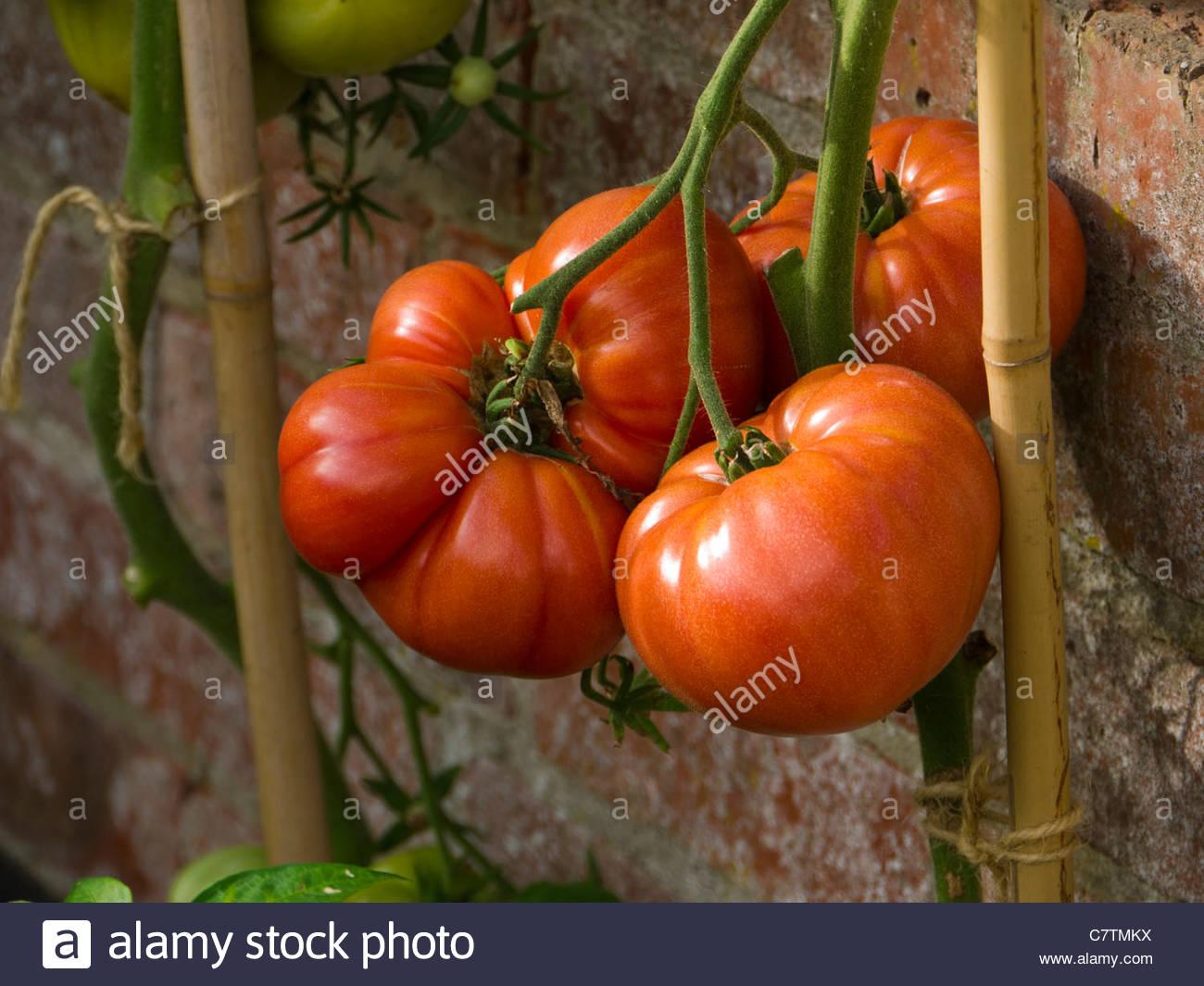 3 Giant Tomatoes Solanum lycopersicum - Stock Image
