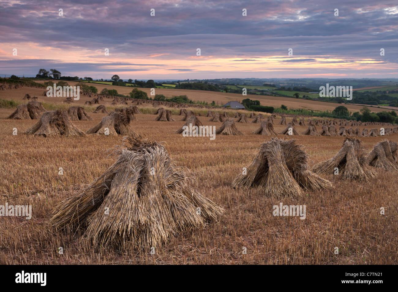 Corn stooks in a Devon field at sunset, Newbuildings, Devon, England. Summer (July) 2011. - Stock Image