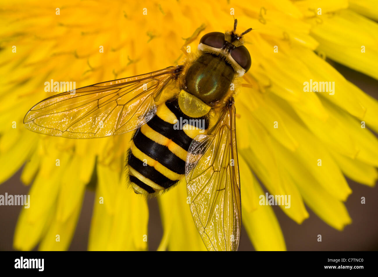 A common hoverfly, Syrphus ribesii on dandelion flower; Dorset garden. - Stock Image