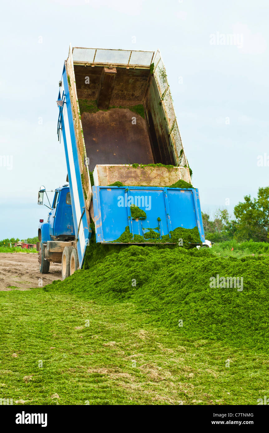 Alfalfa silage is unloaded from a truck on a farm in South Dakota. - Stock Image