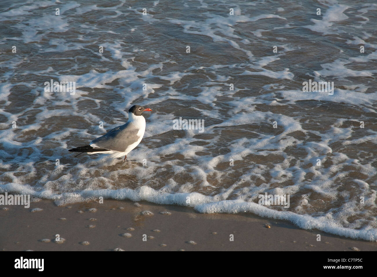 Laughing Gulls Leucophaeus atricilla feeding Gulf of Mexico Florida USA - Stock Image