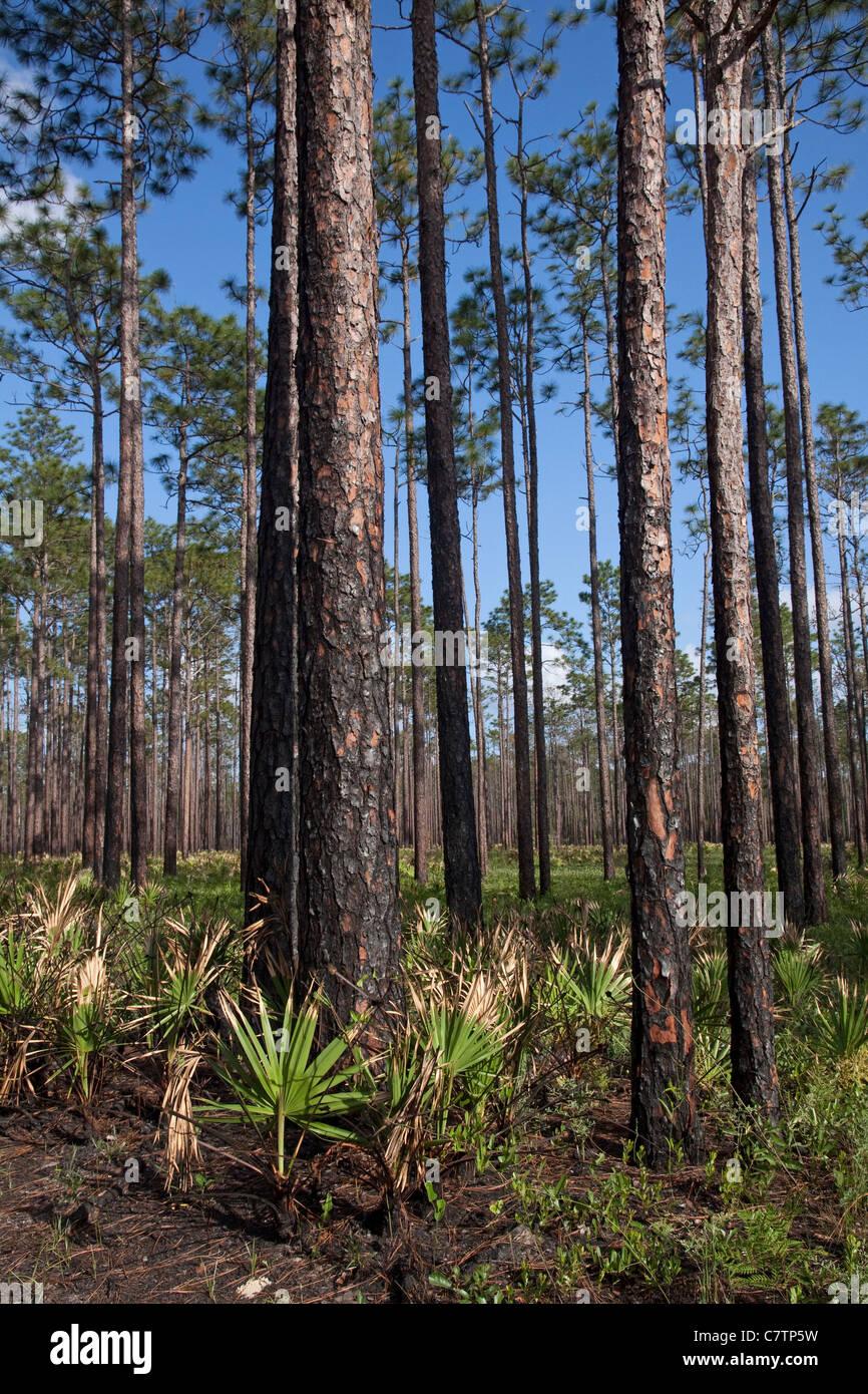 Longleaf Pine Pinus palustris & Dwarf Palmetto Sabal minor Forest Apalachicola National Forest Florida Panhandle - Stock Image