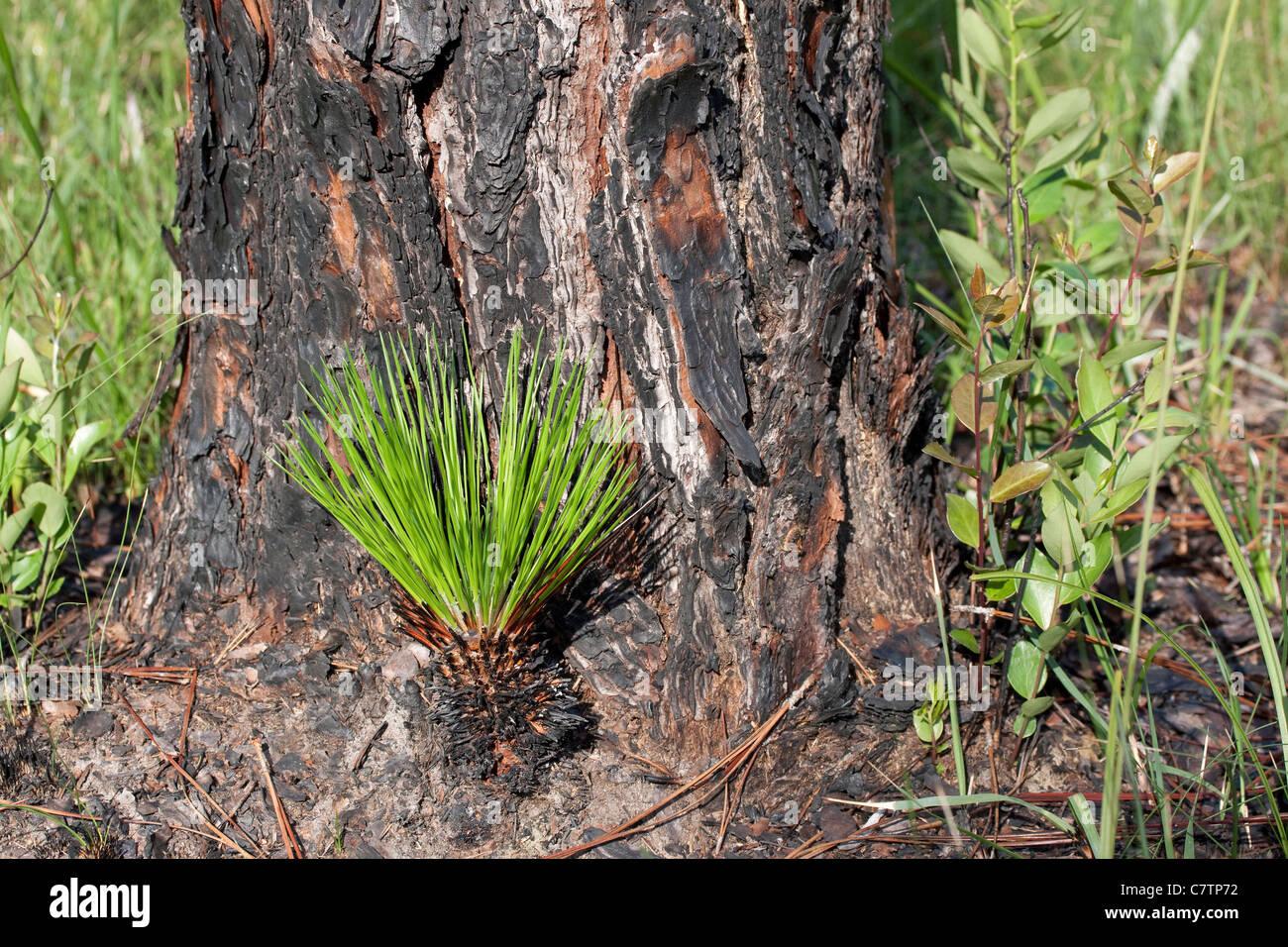 Longleaf Pine Pinus palustris cone germinating at base of mature Longleaf Pine Tree Florida USA - Stock Image